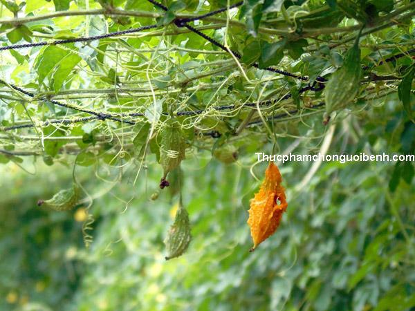 cây mướp đắng rừng chữa bệnh gì