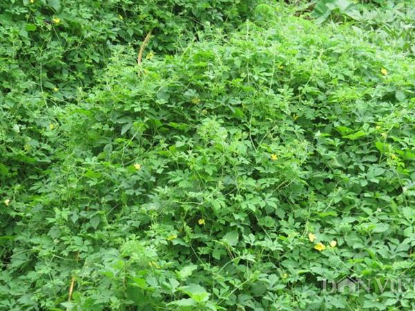 công dụng của lá khổ qua rừng