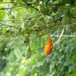trái khổ qua rừng