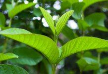 các loại lá cây chữa bệnh tiểu đường