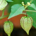 cây thù lù chữa bệnh tiểu đường