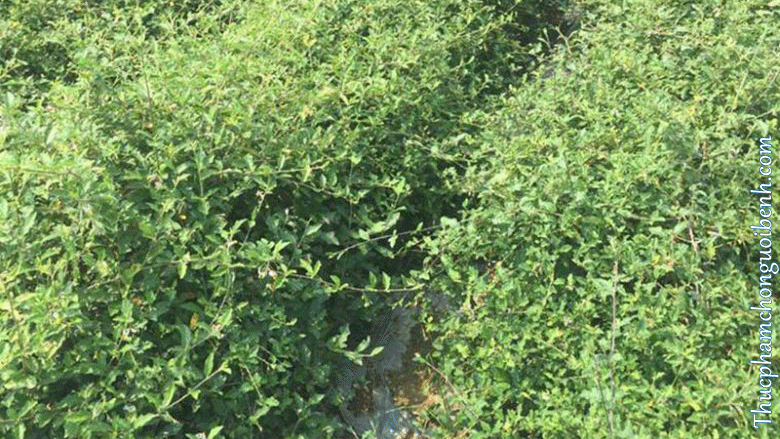rễ cây cà gai leo có tác dụng gì