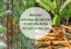 Mách bạn dùng cây mật nhân trị bệnh tiểu đường đơn giản và hiệu quả