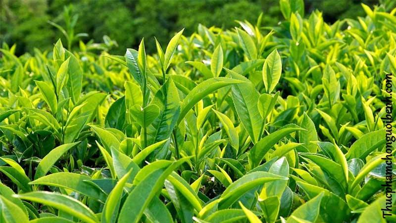trà xanh là một trong những thành phần của viên sủi dream slim
